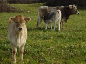 calders vaques